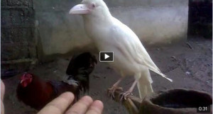 I've Never Seen This White Crow! How is it Possible?