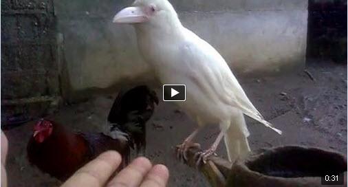 the white crow - photo #16