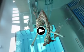 This Giraffe Caught On Camera Doing Acrobatic Stunts, Diving and Swimming in the Pool