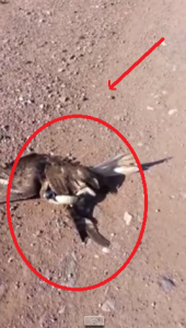 Amazing Animal Duel:  Hawk Almost Choked To Death By A Bull Snake