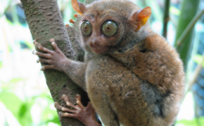 Philippine Tarsier Listed Among 25 World's Most Endangered Species