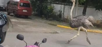 Viral Funny Reactions of Celebrities to the Ostrich Running Around the Subdivision